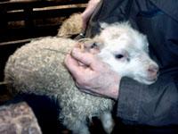 200-merkt-lamb